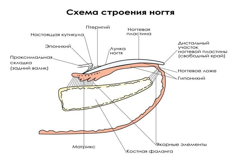 Строение ногтя и ногтевой пластины